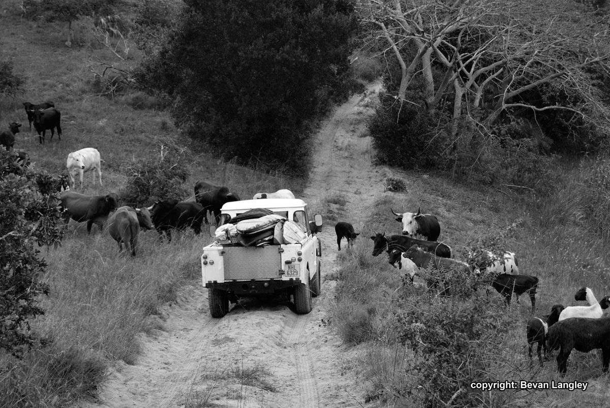 Land-Rover-Navigating-the-cows-in-Mozambique